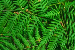 A samambaia verde fresca sae no fundo do borrão no jardim Textura das folhas da samambaia Imagem de Stock