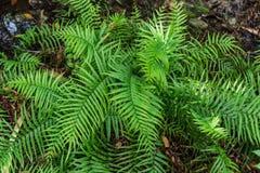 Samambaia verde na natureza da floresta da selva imagem de stock