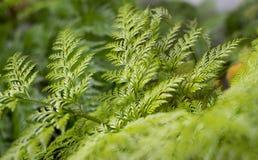 Samambaia verde no jardim Imagem de Stock