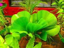 Samambaia verde no jardim botânico Peradeniya em Sri Lanka Imagens de Stock