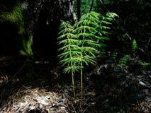 Samambaia verde nova na floresta escura que brilha brilhantemente na luz solar imagens de stock royalty free