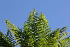 Samambaias contra céus azuis claros Imagens de Stock Royalty Free