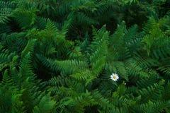 Samambaias das plantas verdes Fotografia de Stock