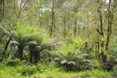 Samambaias de árvore na floresta úmida Imagem de Stock Royalty Free