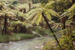 Samambaias de árvore que crescem o rio próximo em Rotorua Imagem de Stock