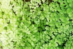 Samambaias de Maidenhair como o fundo verde natural da textura fotos de stock royalty free