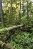 Samambaias e Giants caído em Forest Floor Foto de Stock Royalty Free