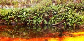 Samambaias em um rio dourado Fotos de Stock Royalty Free