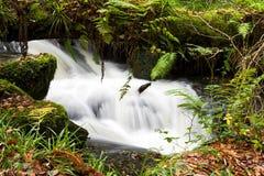 Samambaias que crescem no log caído, com água movente atrás Fotografia de Stock Royalty Free
