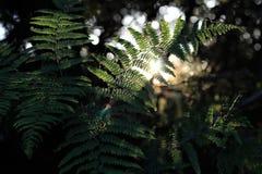 Samambaias retroiluminadas da samambaia e spiderwebs finos no por do sol em uma floresta do noroeste pacífica com fundo do macio- foto de stock