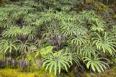 Samambaias verdes nas florestas úmidas de Nova Zelândia foto de stock