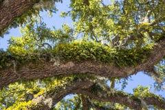 Samambaias verdes nos membros do carvalho Foto de Stock Royalty Free