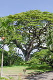Saman träd Royaltyfri Foto