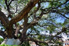Saman Tree en Charala, Santander, Colombia fotos de archivo libres de regalías