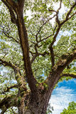 Saman Tree Rising Towards Sky antique photo libre de droits
