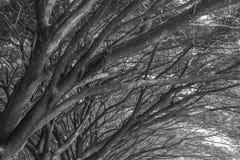 Samanea saman, Duży podeszczowy drzewo (czarny i biały) fotografia stock