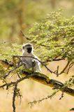 Samango (blue monkey) -5 Royalty Free Stock Images
