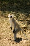 Samango (blue monkey) -8 Stock Image