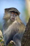 Samango Monkey Royalty Free Stock Photo