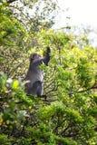 Samango monkey feeding on leaves Stock Image