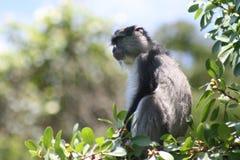 Samango monkey sitting in tree Stock Photos