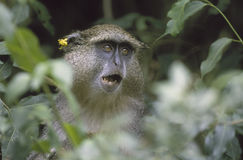 Samango Monkey, South Africa Stock Image