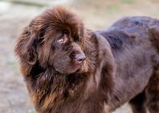 Big Brown Newfoundland Named Samantha. Samantha is a big brown Newfoundland who loves to run and play with other dogs at the dog park stock images