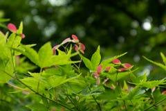 Samara-Acer-palmatum Thunb Lizenzfreie Stockfotografie