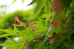 Samara-Acer palmatum Thunb. Is Aceraceae Acer, small deciduous tree crown umbrella. The bark is smooth. The bark is dark gray. Branchlets purple or purplish royalty free stock photography