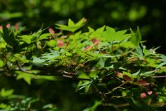 Samara von Acer-palmatum Stockbilder