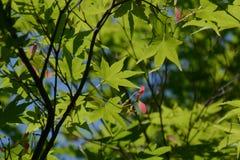 Samara von Acer-palmatum Lizenzfreie Stockfotografie