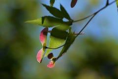 Samara von Acer-palmatum Lizenzfreies Stockbild