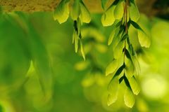 Samaras - wings of green Stock Image