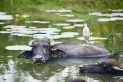 Samarbete mellan vattenbuffeln och fågeln fotografering för bildbyråer