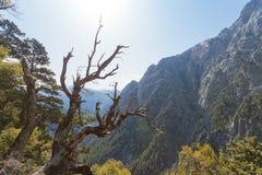 Samaria峡谷的老树 图库摄影