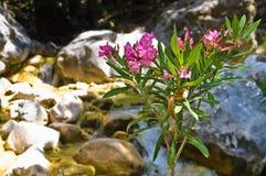 Samaria峡谷,克利特海岛植物群  图库摄影