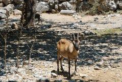 Samaria Gorge, Crete, mountain goats royalty free stock photography