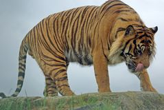 Samartran Tiger. Male Samartran Tiger set against the Sky royalty free stock photo