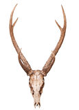 Samba deer skull horn isolated on white backgorund Stock Images
