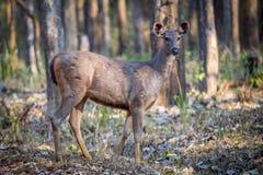 Sambar στο δάσος Στοκ φωτογραφίες με δικαίωμα ελεύθερης χρήσης