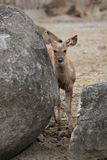 The sambar baby (Rusa unicolor) Royalty Free Stock Image