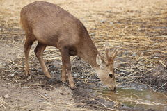The sambar baby (Rusa unicolor) Royalty Free Stock Images