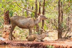 Sambar de un par de ciervos en el parque zoológico que descansa debajo de árbol cerca de una reserva de agua muy pequeña foto de archivo libre de regalías