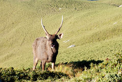 sambar deer. Royalty Free Stock Image