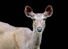 Sambar Deer. Isolated on a black background Stock Photo