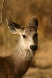 Sambar deer Royalty Free Stock Image