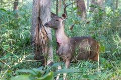 Sambar deer alarmed look Stock Photography