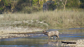Sambar deer in Bardia national park, Nepal Royalty Free Stock Photography