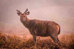 Sambar deer. Beautiful Sambar deer from Horton plains , Srilanka Royalty Free Stock Images
