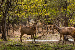 Sambar Deer with big horns. Pair of Sub-Adult Sambar Deer facing each other at Ranthambore Tiger Reserve royalty free stock image